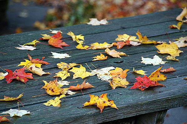 Picture of Leaves and Fall Color - Free Pictures - FreeFoto.com