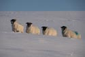 Image Ref: 9910-01-5444 - Sheep in the snow, Viewed 6527 times