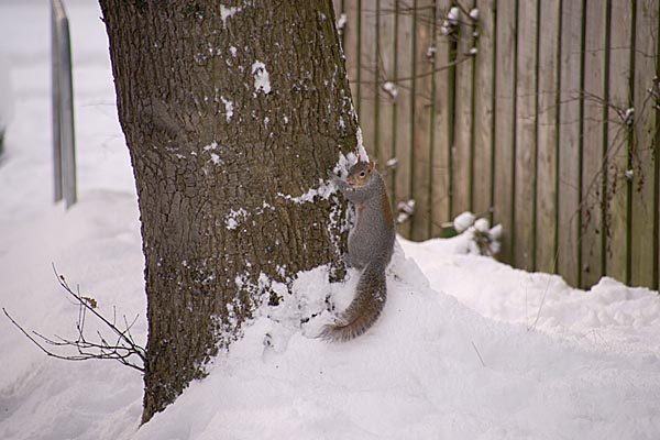 Picture of Squirrel in the snow - Free Pictures - FreeFoto.com