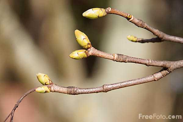 Picture of Tree Buds in the Spring - Free Pictures - FreeFoto.com