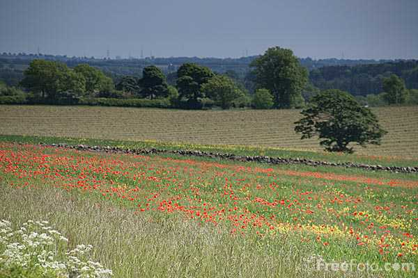 Picture of Red Poppies - Free Pictures - FreeFoto.com
