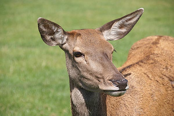 Picture of Roe Deer - Free Pictures - FreeFoto.com
