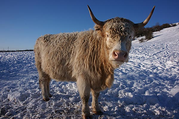 Picture of Highland Cattle - Free Pictures - FreeFoto.com