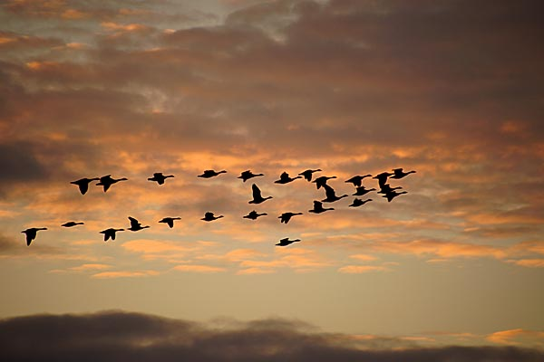 Picture of Sunset With Passing Flock Of Geese - Free Pictures - FreeFoto.com