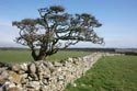 Image Ref: 9911-03-3640 - Tree and stone wall, Viewed 5015 times
