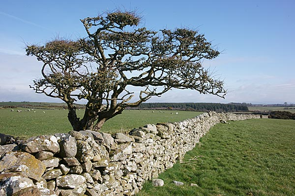Picture of Tree and stone wall - Free Pictures - FreeFoto.com