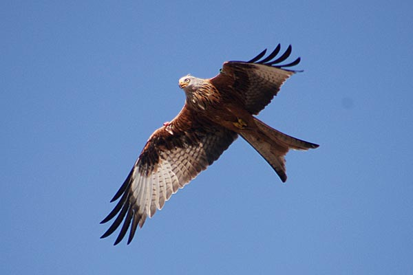 Picture of Red Kite - Free Pictures - FreeFoto.com