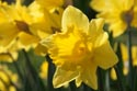 Image Ref: 9911-03-4337 - Daffodil, Viewed 2124 times