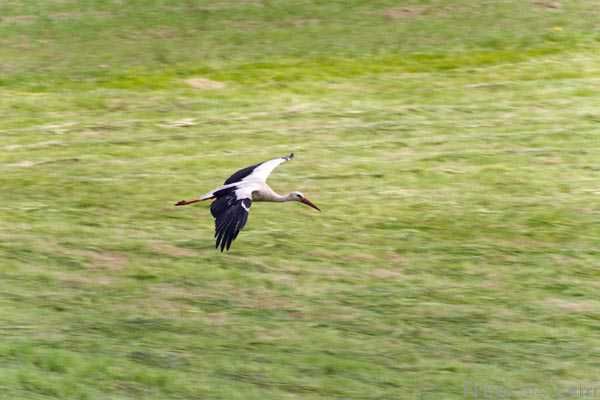 Picture of White stork, the national bird of Lithuania - Free Pictures - FreeFoto.com