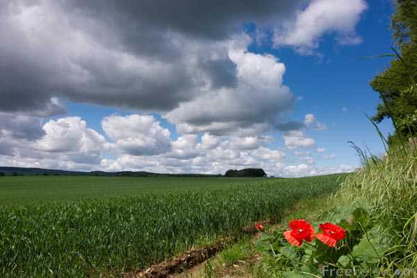 Picture of A field with red poppies in sunshine - Free Pictures - FreeFoto.com